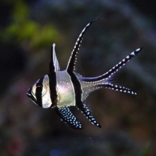 Pterapogon kaudernii - Тюлевый Апогон