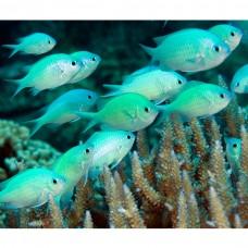 Chromis viridis -Хромис сине-зеленый