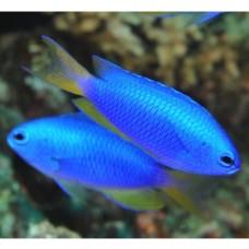 Pomacentrus coelestis -Помацентрус голубой