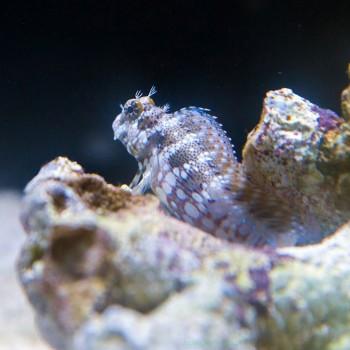 Salarias fasciatus- собачка водорослеед