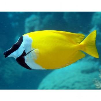 Siganus vulpinus - рыба Лисица желтая