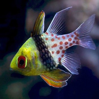 Sphaeramia nematoptera - Сферомия пятнистая рыба