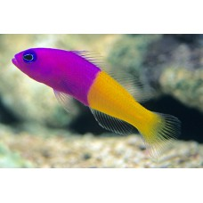 Pseudochromis paccagnellae - Ложнохромис королевский