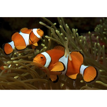 Рыба клоун – Амфиприон Оцеллярис (Amphiprion ocellaris)