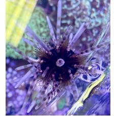 Echinothrix calamaris (Двуиглый морской ёж)