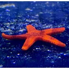 Морская звезда Фромия fromia milleporella