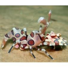 Hymenocera picta креветка Арлекин