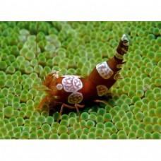 Thor amboinensis Sexy Anemone Shrimp (анемоновая креветка секси)