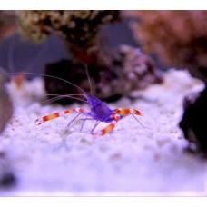 Stenopus tenuirostris - голубая коралловая креветка боксер S