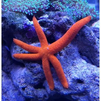 Linckia морская звезда