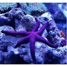 Linckia Purple Линкия пурпурная