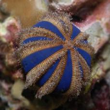 Mespilia globulus морской еж арбузик