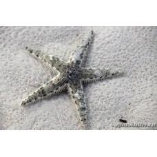 Astropecten polycanthus (песчаная морская звезда)