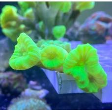 Caulastrea premium neon green. (Кауластрея)