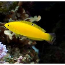 Halichoeres chrysus (желтый Тамарин)