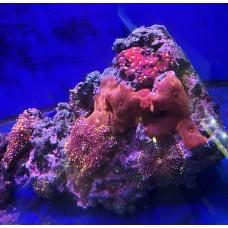 живой камень с кораллами