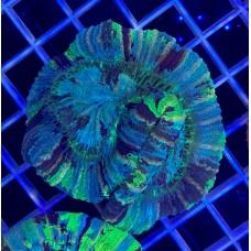 Trachyphyllia geoffroyi Трахифилия