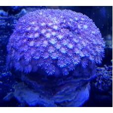 Goniopora spp (Гониопора) фиолетовая
