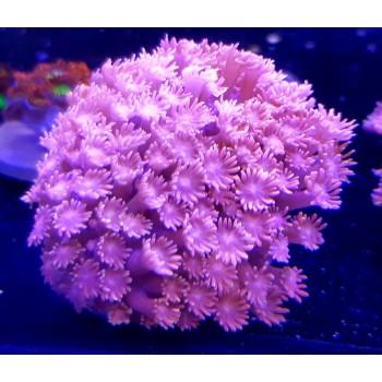Goniopora spp (Гониопора) красная