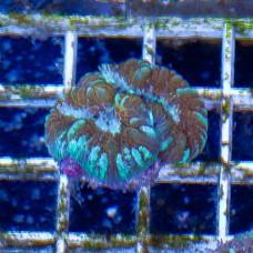 Acanthastrea maxima (Акантастрея максима)