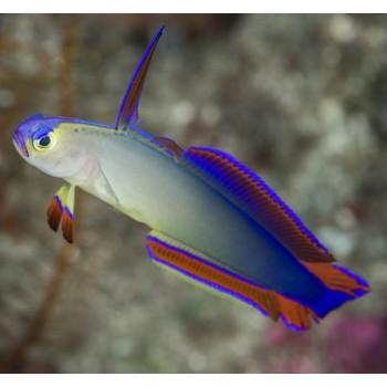 Nemateleotris decora (Пурпурный огненный бычок)