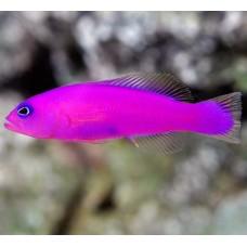 Pseudochromis porphyreus (ложнохромис фиолетовый)