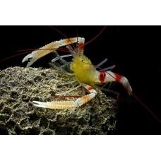 Stenopus zanzibaricus (Креветка-боксер занзибарская)