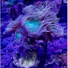 Duncanopsammia axifuga - Дункан