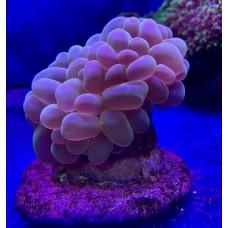 Plerogyra sinuosa - Плерогира пузырчатая