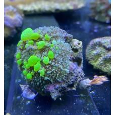 Родактис Bounce Mushroom Coral
