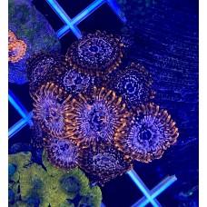 Zoanthus  Utter Chaos Зоантусы Zoanthiniaria