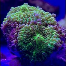 Ricordea yuma green - Рикордея Юма зеленая (2 головы)