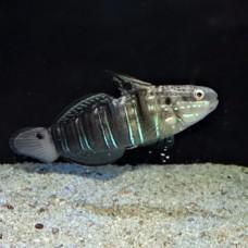 Amblygobius phalaena Амблигобиус фалена