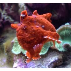 Antennarius sp. удильщик красный