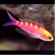 Pseudanthias flavoguttatus желтопятнистый антиас