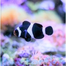 Amphiprion ocellaris black - Амфиприон оцелярис черный