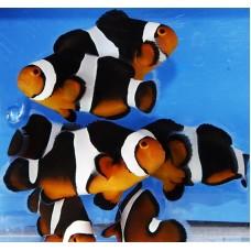 Premium Black Photon Clownfish (Черный фотон)
