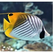 Chaetodon auriga рыба бабочка Аурига