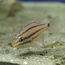 Ostorhinchus doederleini Apogon