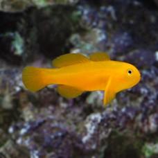 Gobiodon okinawae желтый бычок