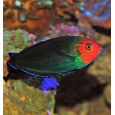 Halichoeres rubricephalus губан красноголовый
