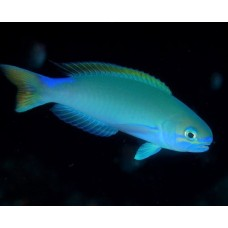 Hoplolatilus randalli - Randall's tilefish