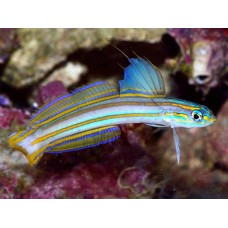 Ptereleotris grammica Lined Dartfish оранжевополосый бычок