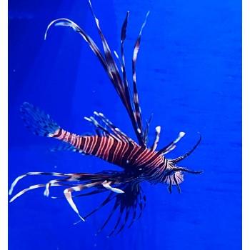 Крылатка (Рыба лев) – Pterois volitans