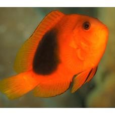 Amphiprion ephippium рыба клоун огненный