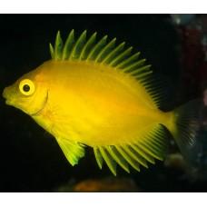 Siganus corallinus (коралловый сиган)