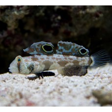 Signigobius biocellatus Двухпятнистый бычок
