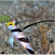 Stonogobiops nematodes Нитеперый краснополосый бычок