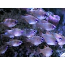 Zoramia leptacantha Threadfin cardinalfish