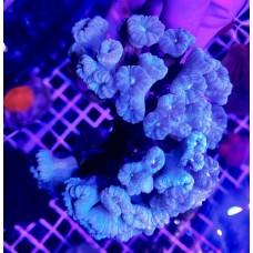 Caulastrea blue Кауластрея голубая 1 голова
